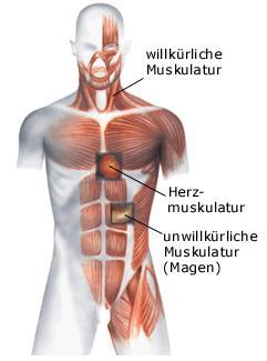 muskulatur mensch