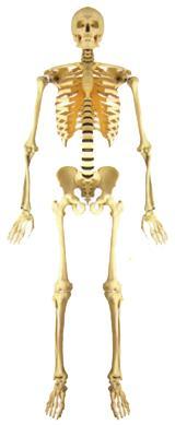 Anzahl Menschlicher Knochen